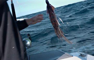 Squid being used as bait